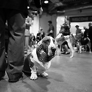 "February 11, 2013 - New York, NY : .Images from the 2013 Westminster Kennel Club Dog Show at Madison Square Garden on Monday evening. Bryan Martin, from Vernon Hills, Ill. waits with his basset hound ""Tiger"" for the hound division to begin. .CREDIT: Karsten Moran for The New York Times"