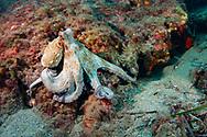 Octopus-Poulpe (Octopus vulgarus) of Méditerranée