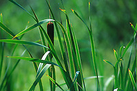 Bullrushes stand against a green background, Cypress Hills Park, Saskatchewan