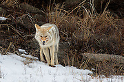 A Coyote protecting its food in Yellowstone National Park