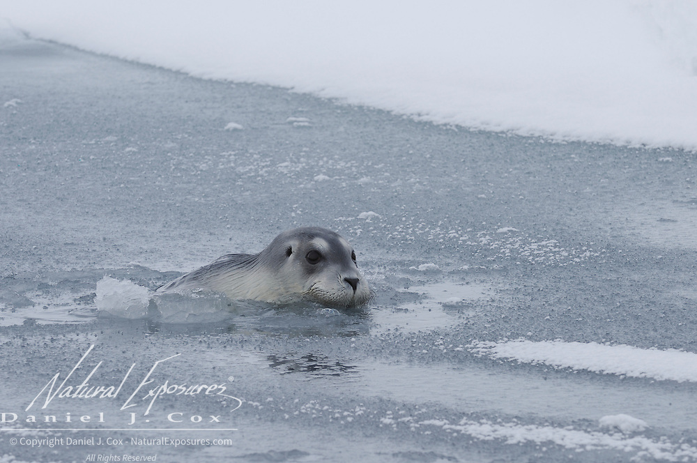 Bearded Seal in the Beaufort Sea, Alaska.