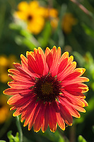 Indian Blanket, Burnet County