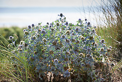 Sea Holly growing wild in the sand dunes at Braunton Burrows, Devon. Eryngium maritimum