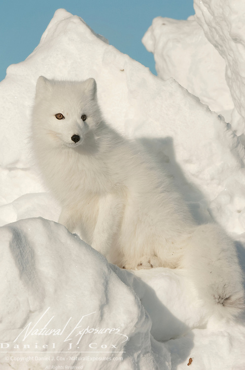 Arctic Fox along the ice edge of Hudson Bay, Cape Churchill, near Churchill, Manitoba, Canada