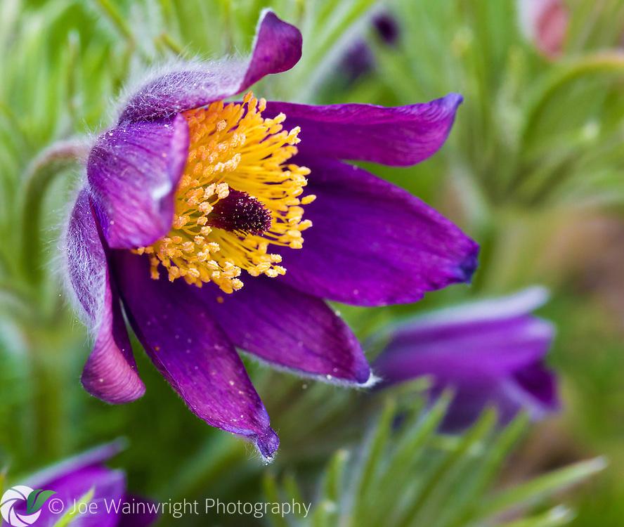A Pulsatilla vulgaris flower