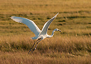 A Great Egret flying home with dinner at the Parker River Wildlife Refuge in Newbury, Massachusetts