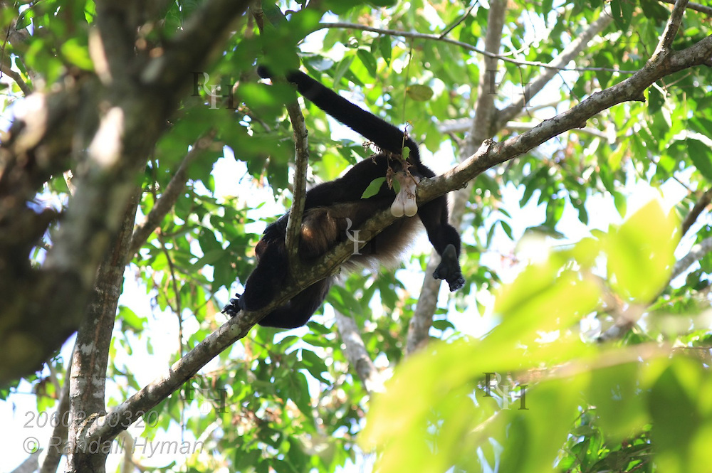 Mantled howler monkey (Alouatta palliata) cools off on branch in tree by letting air ventilate white genitalia; Manuel Antonio National Park, Costa Rica.