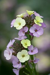 Wallflower 'Plant World Lemon'. Erysimum