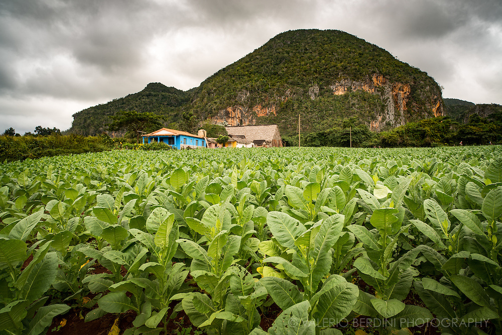 Tobacco plants almost ready for harvest. Tobacco is seeded in autumn and early winter and harvested in the spring before the summer heat when plants reach a height of around one metre. Vinales valley, Cuba.