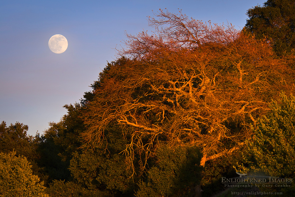 Full moon rising over trees in Briones Regional Park, Contra Costa County, California