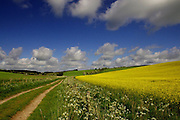A spectacularly colourful Summer scene under a deep blue sky near Fyfield, Wiltshire. The sunlit field of golden oilseed rape is fringed with cow parsley (anthriscus sylvestris). In the left distance is the Neolithic dolmen 'Devil's Den', a portal tomb or dolmen on Fyfield Down.<br />