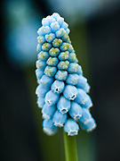 Muscari 'Jenny Robinson' - grape hyacinth