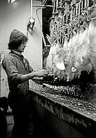 Slaughter house in Chicken factory with underage workers Britain 1970's