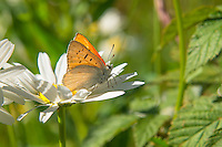 A beautiful white and orange male ruddy copper butterfly rests on a local aster in the White River National Forest near Aspen, Colorado below the Rocky Mountain's Maroon Bells on a sunny summer morning.