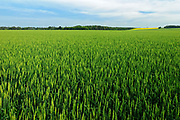 Wheat filed, Saint Leon, Manitoba, Canada
