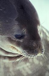 Antartida. 12/1991.Foca de weddel na Antartida./ Antarcticas weddel Seal..Foto © Adri Felden/Argosfoto