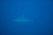 Grey reef shark (Carcharhinus amblyrhynchos) Raja Ampat, West Papua, Indonesia, Pacific Ocean