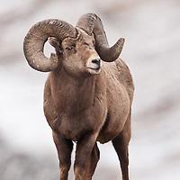 trophy bighorn ram,  rocky mountains, winter feeding wild rocky mountain big horn sheep