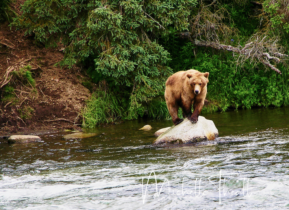 Bear climbing atop a rock for a better view of the water, Brooks Falls in Katmai NP
