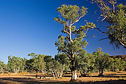 Aborigines gather under a eucalyptus tree in the dried up Todd River, Alice Springs, Australia