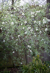Pyrus salicifolia var. orientalis 'Pendula' AGM. Pendulous willow-leaved pear