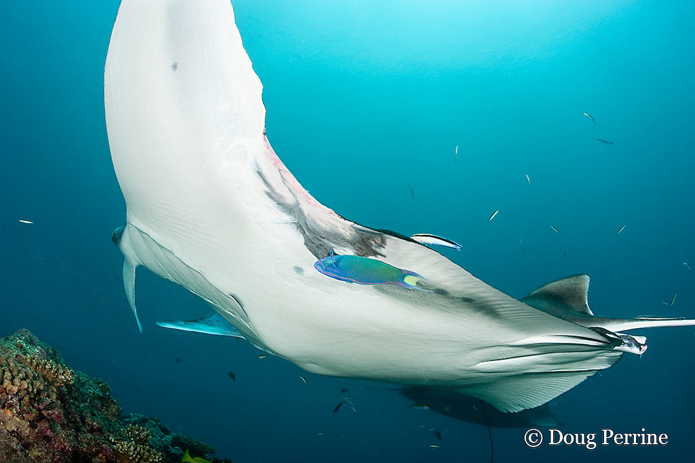 male reef manta ray, Manta alfredi (formerly Manta birostris ), with fresh wound, possibly a shark bite, being cleaned by moon wrasse, Thalassoma lunare (foreground), and blue-streak cleaner wrasse, Labroides dimidiatus, Manta Point, Lankan, North Male Atoll, Maldives ( Indian Ocean )