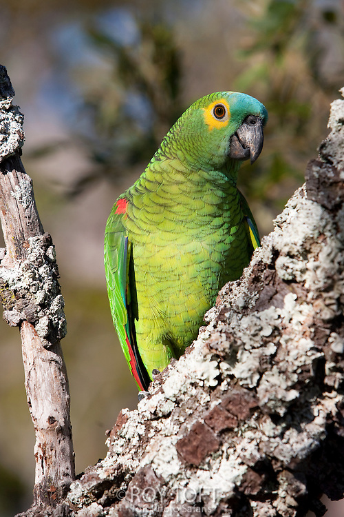 Blue-fronted Amazon parrot (Amazona aestiva), Brazil