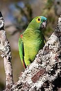 Blue-fronted Amazon parrot (Amazona aestiva), Brazil