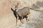 Mule deer in habitat