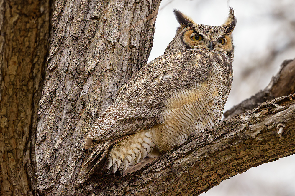 Great Horned Owl (male), Boulder County, Colorado - 2016
