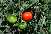 one red and two green tomatoes