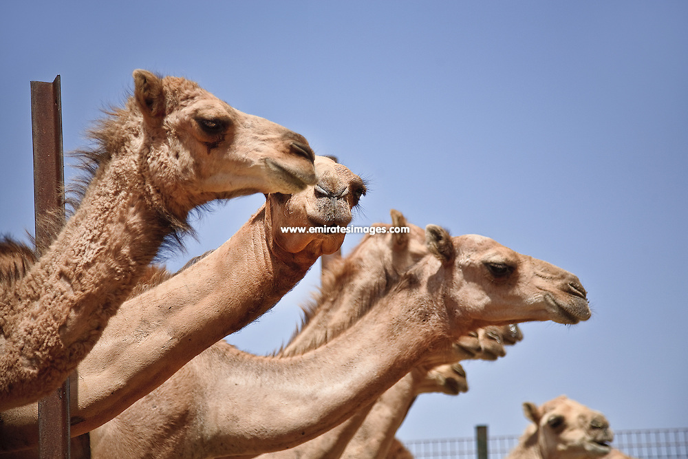 Al Ain camel market, in the emirate of Abu Dhabi
