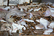 The first catch of the day, Dover soul, Plaice, Dog fish, Smoothhound, Bull Huss, Whiting, spider crabs, hermit crabs, skate emptied from the net onto the boat.  Luke is a Folkestone based fisherman out trawling with his dad Terry on a fishing trip in his boat Valentine (FE20), Hythe Bay, the English Channel, United Kingdom.  (photo by Andrew Aitchison / In pictures via Getty Images)