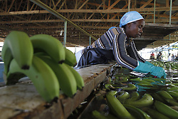 Women work in a banana plantation in Manzanillo municipality, Montecristi province, in Dominican Republic, on April 9, 2013. Dominican Republic exported about 300,000 tons of bananas to European Union (EU) countries in 2012, which makes the country the principal seller of EU, April 9, 2013. Photo by Imago / i-Images...UK ONLY.