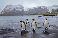 King penguins on the beach at Gold Harbor on South Georgia.
