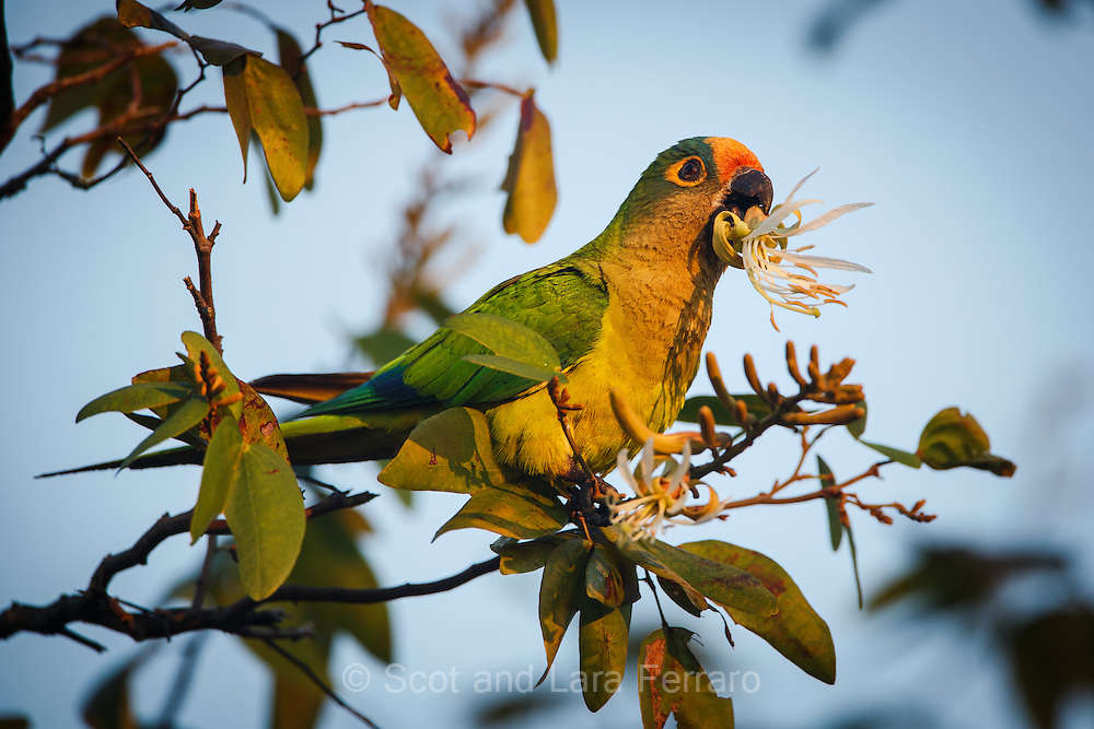 A Peach-fronted Parakeet feeds on a flowering tree in the southern Pantanal, Brazil.