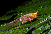 Multicolored Katydid (Copiphora sp)<br /> Yasuni National Park, Amazon Rainforest<br /> ECUADOR. South America<br /> HABITAT & RANGE: