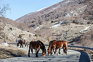 16 February 2017, Scanno - A group of horse inside the National Park of Abruzzo on the way for a village of Scanno.