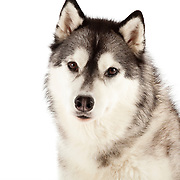 Soft and thick coated Husky dog looking at camera with intent gaze
