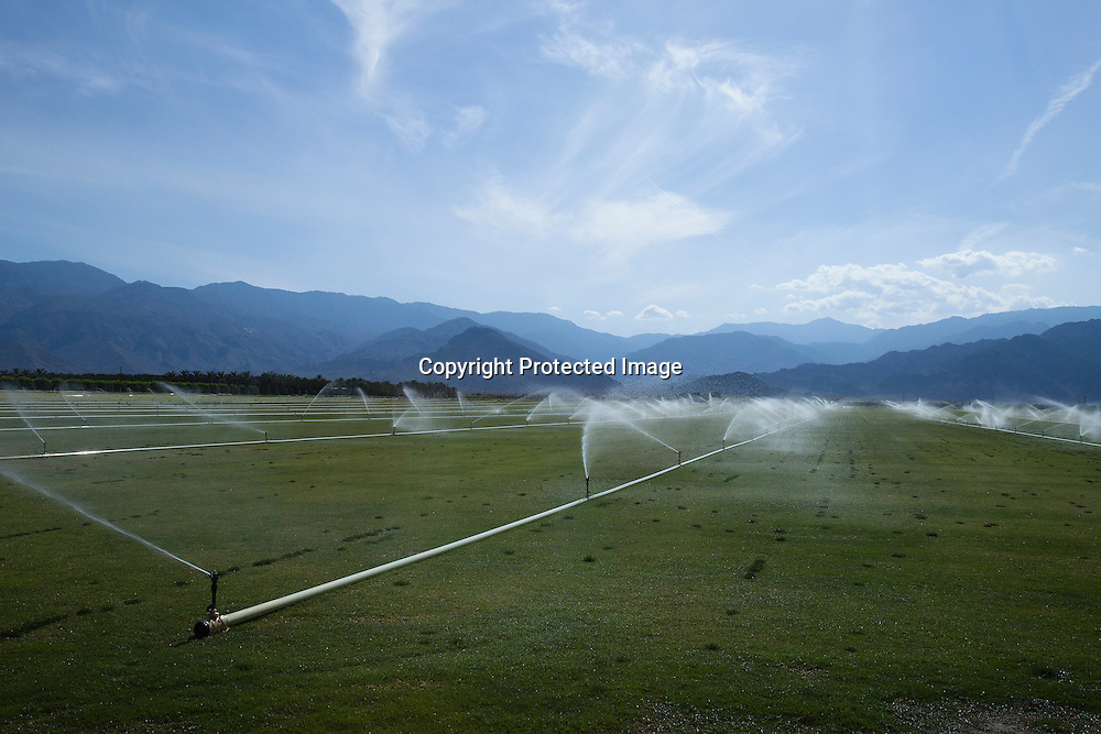 Sprinklers watering grass to be sold to some golf course in California