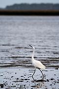 Little egret (Egretta garzetta) on the shores of Poole Harbour. Dorset, UK.
