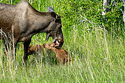 Wildlife photographs of Moose (Alces alces) from Alaska, AK