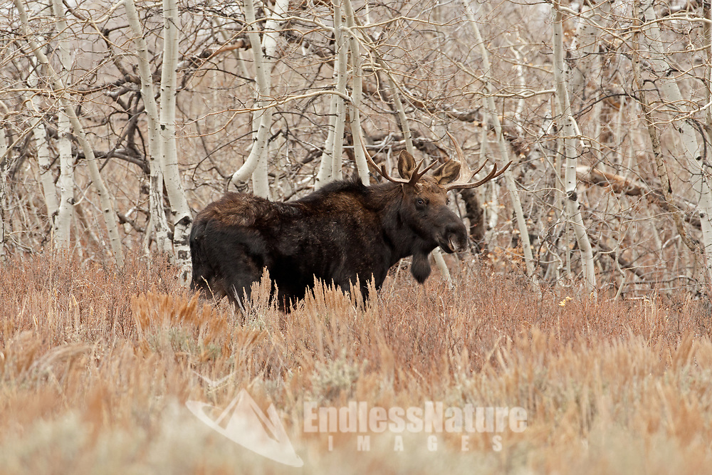 A young Bull Moose rests in a stand of Aspen trees.