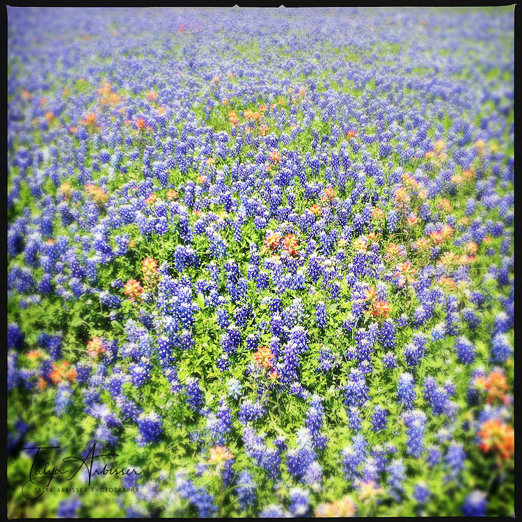 Bluebonnet field - Chappell Hill, Texas