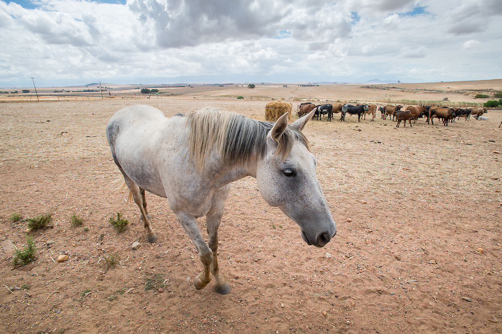 Horse with cows in the background in South Africa