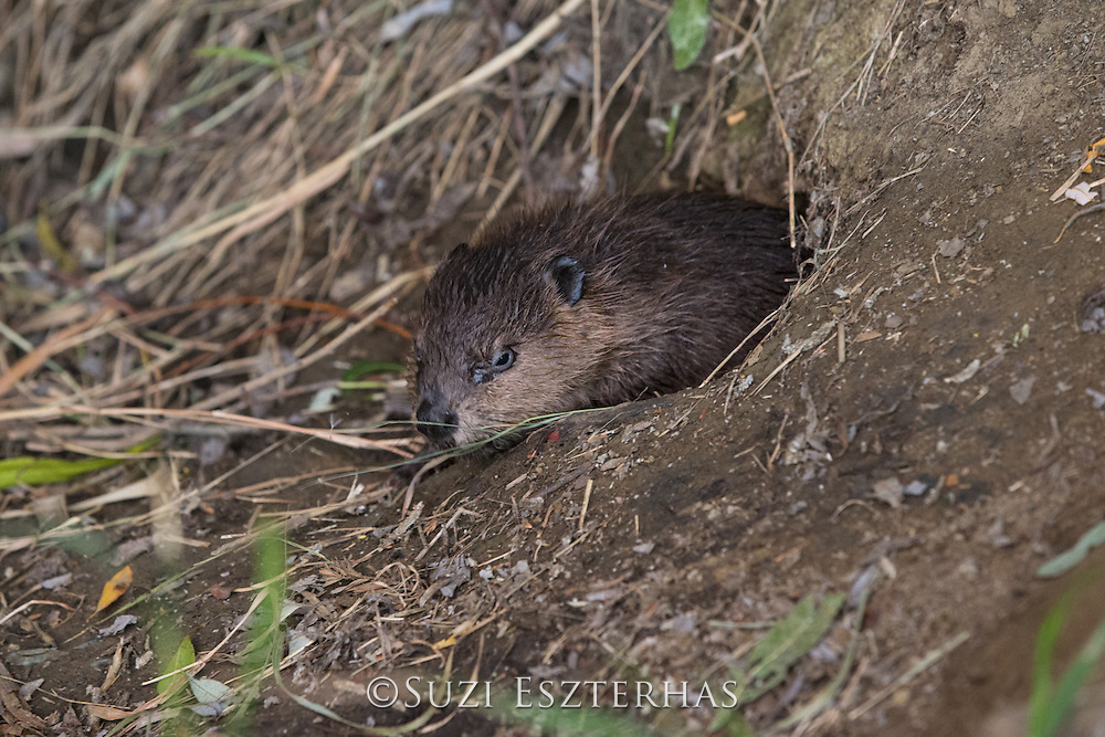 North American Beaver<br /> Castor canadensis<br /> Eight-week-old kit<br /> Martinez, CA
