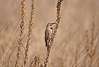 A male Northern Flicker perched on a dry thistle stem looking for left over thistle seeds.