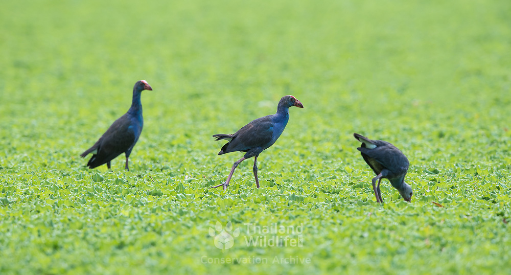 The black-backed swamphen (Porphyrio indicus) is a species of swamphen occurring from southeast Asia to Sulawesi and Borneo. It used to be considered a subspecies of the purple swamphen, which it resembles, but has a large shield, black upperparts, and the side of the head is blackish.