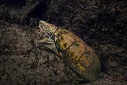 Loggerhead Musk Turtle, Underwater