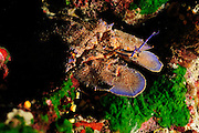 European Paddle-nosed Lobster (Scyllarides latus) | Bärenkrebs